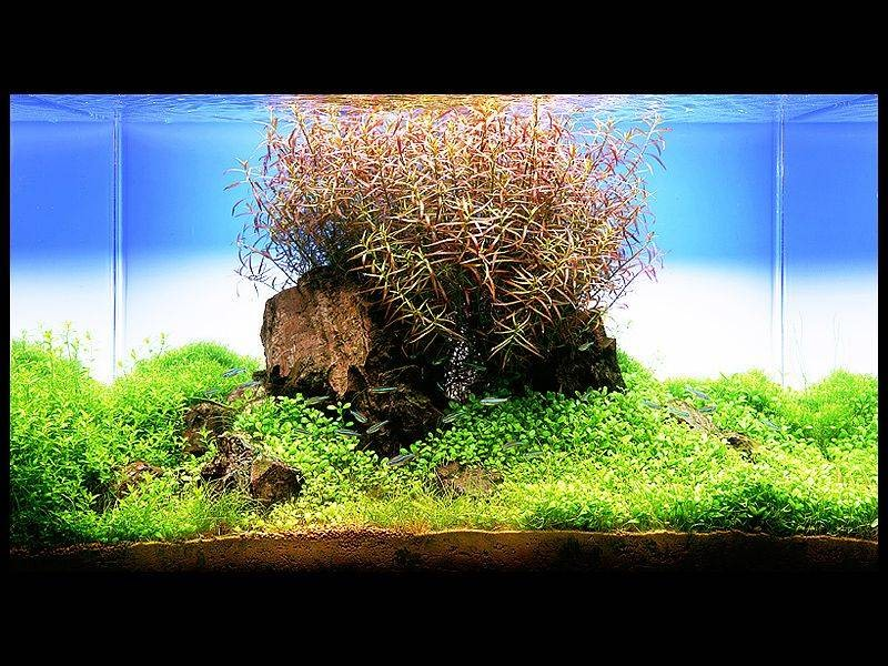аквариум Амано с людвигией