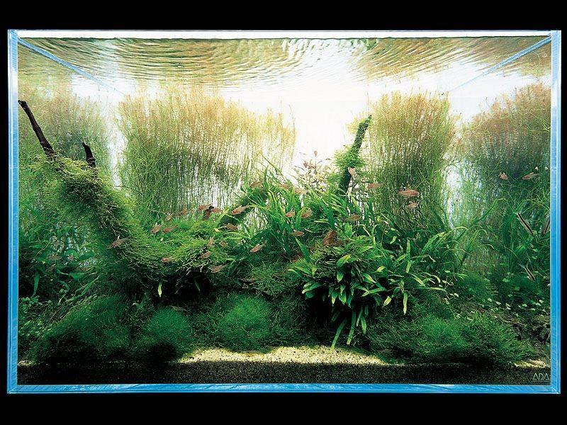 мох в аквариуме Такаши Амано