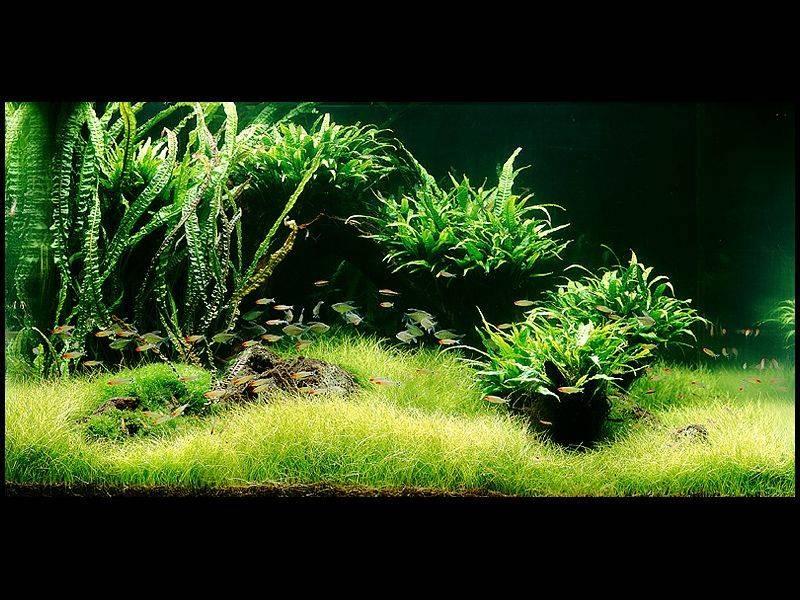 аквариум Амано с папоротниками