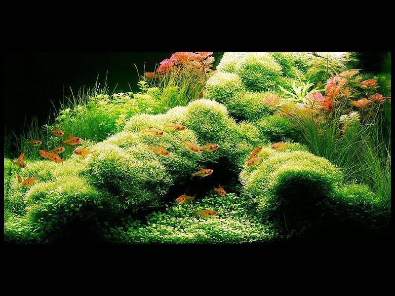 аквариум Амано с риччией