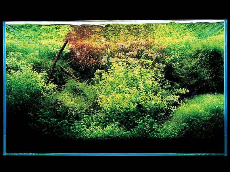 аквариум Такаши Амано с роталой