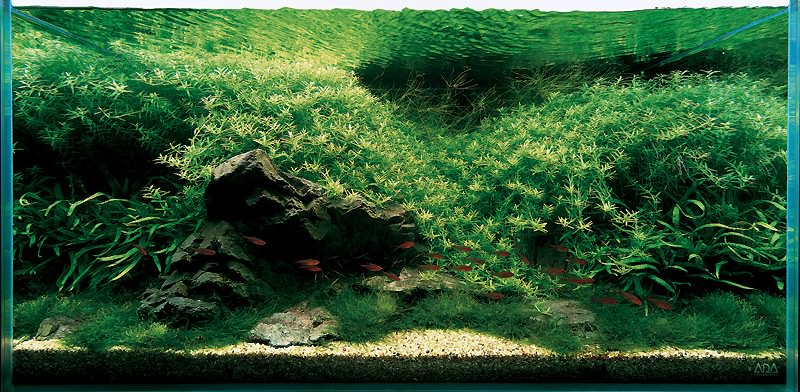 аквариум Амано с роталой