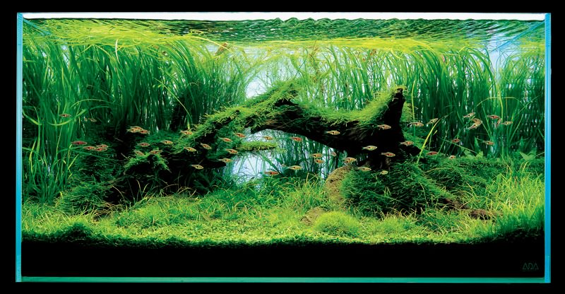 аквариум Такаши Амано с валлиснерией
