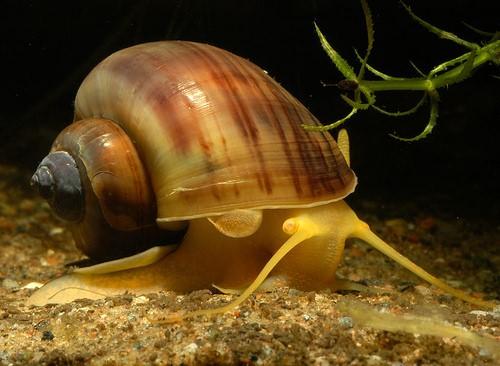 Ампулярия - желтая аквариумная улитка
