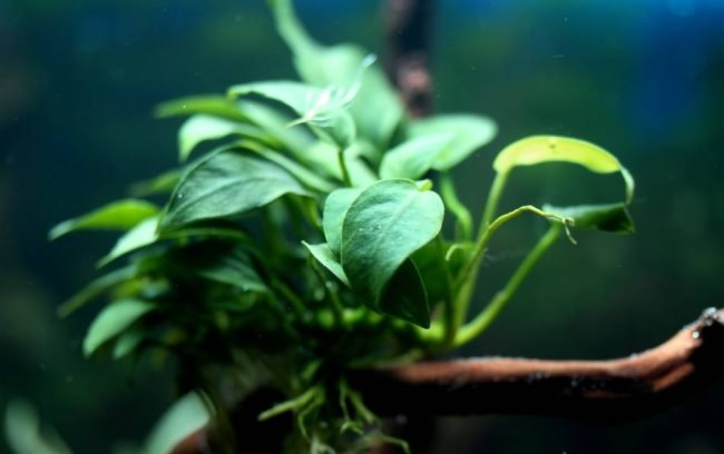 Красивые зеленые аквариумные растения.
