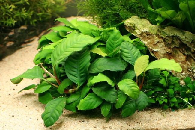Anubias barteri coffeefolia.