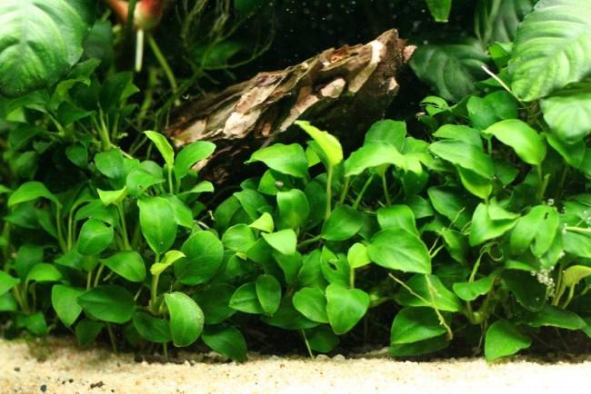 Элитное аквариумное растение.