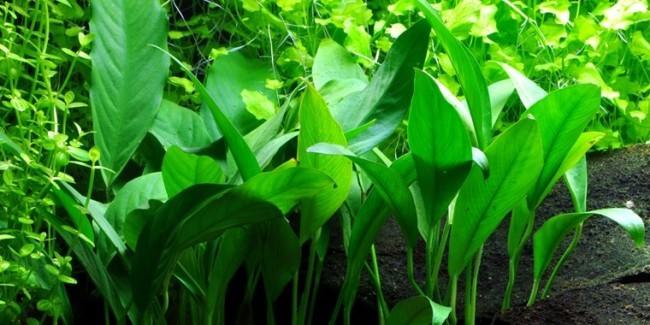 Anubias barteri var angustifolia.
