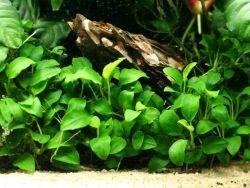 аквариумный анубиас