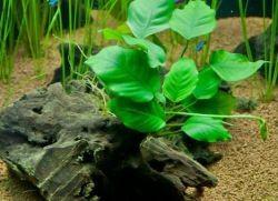 Анубиас содержание в аквариуме