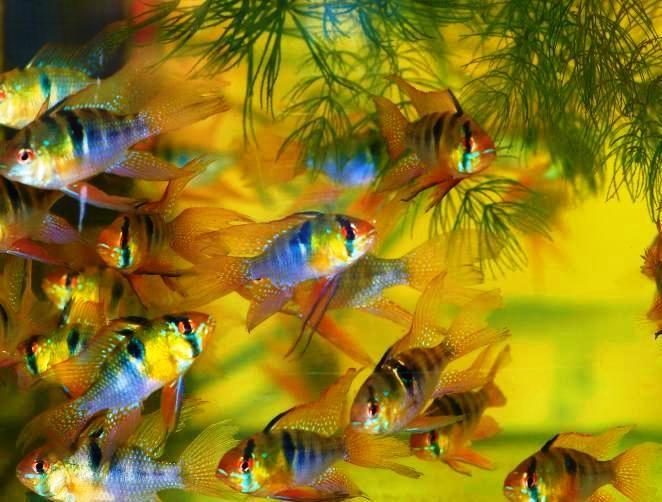 Стайка маленьких вуалевых бабочек рамиреса