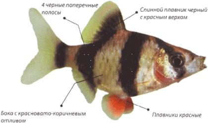 Суматранский барбус