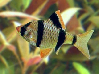 Суматранский барбус фото