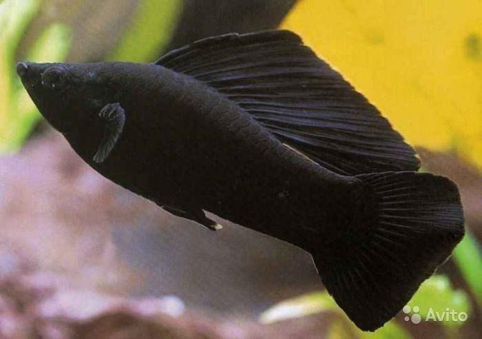 рыба черная зебрасома