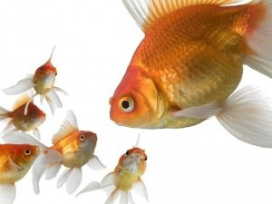 Золотые рыбки: аквариумные виды