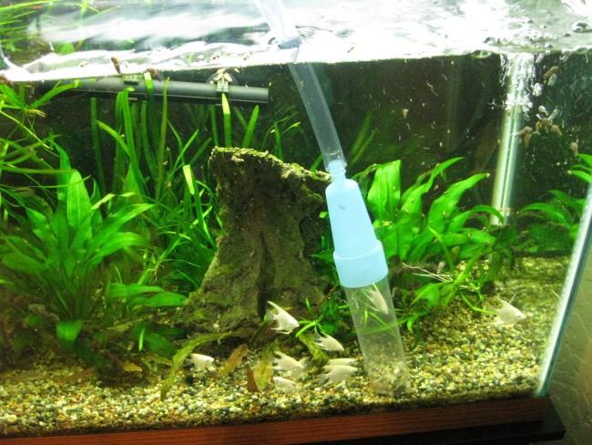 Сифонка грунта в домашнем аквариуме.