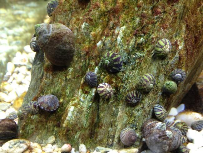 Улитки едят бурые водоросли.