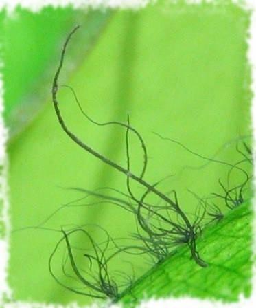 водоросль вьетнамка