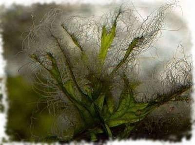 водоросль вьетнамка в аквариуме