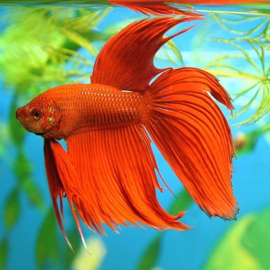 петушки рыбы