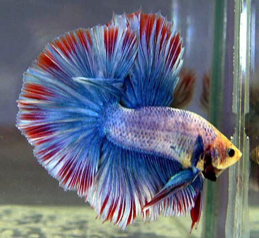 аквариумная рыба петушок