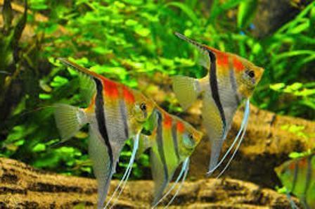 как лечить рыбок от манки антипаром