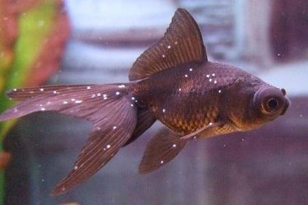 рыбка больная ихтиофтириозом