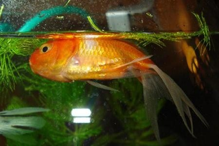 золотая рыбка плавает на боку