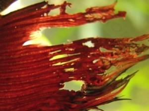 Плавниковая гниль у петушка