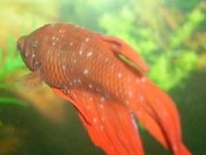 рыбка больная Триходинозом