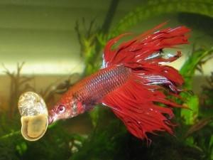 Рыбки-петушки: уход и содержание
