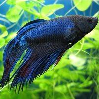 рыбка петушок уход