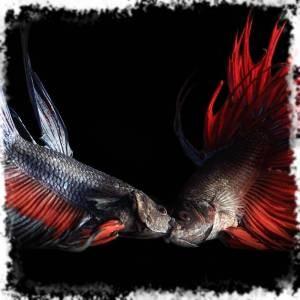 Рыбка петушок заваливается на бок на дне