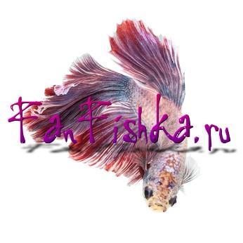 рыбка петушок уникальное лучшее фото