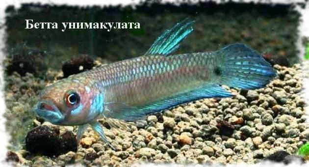виды рыбок бетт