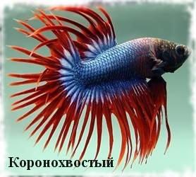 виды рыбки петушка