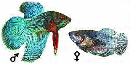 рыбка петушок самец самка