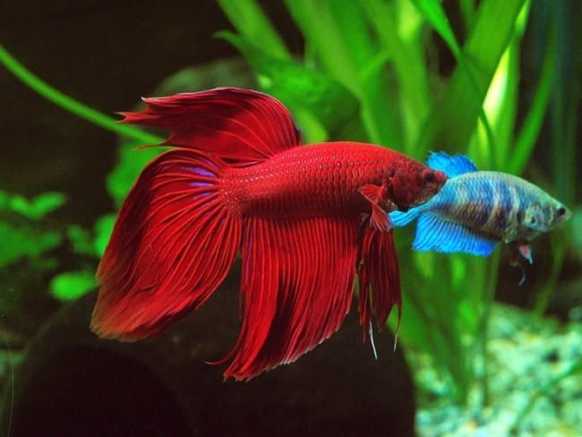 Вуалехвостая рыбка петушок.