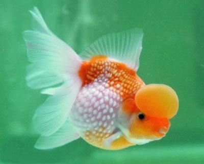 Болезни золотой рыбки
