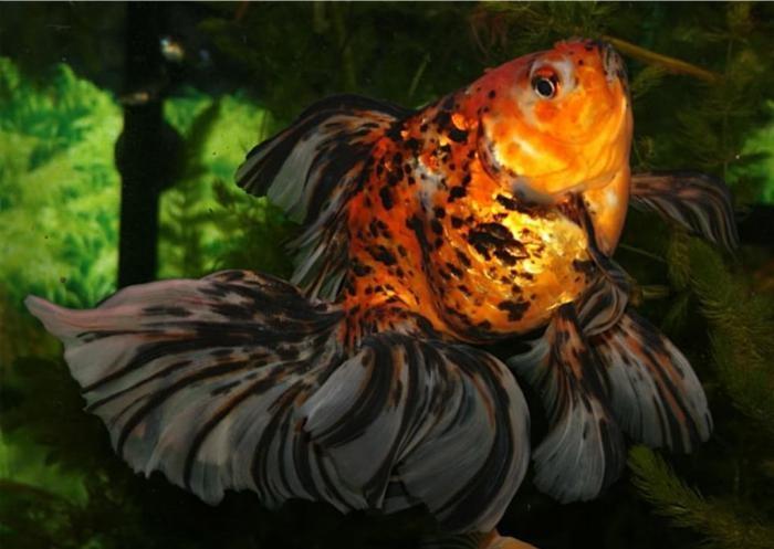 Золотые рыбки болезни