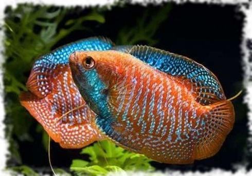 лялиусы распространенные рыбки