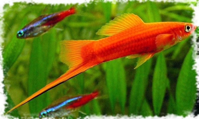 меченосцы популярные рыбки
