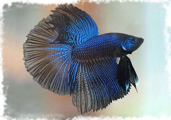Рыбка петушок популярная