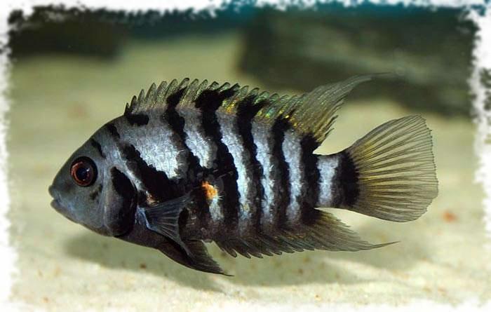 популярная аквариумная рыбка