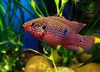 Рыбы для аквариума5