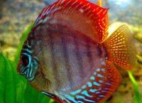 Рыбы для аквариума10