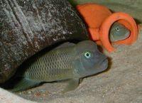 Рыбы для аквариума11