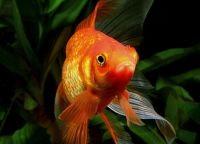 Рыбы для аквариума13