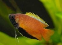 Рыбы для аквариума18