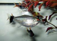 Рыбы для аквариума19